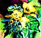 Blüten des Punktierten Gilbweiderichs(Lysimachia punctata(L.))
