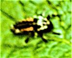 Larve des Asiatischen Marienkäfers(Harmonia axyridis(Pallas 1771))