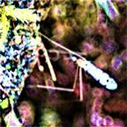 Stelzenmücke(Limonia phragmitidis(Schrank 1781))
