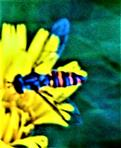 Hainschwebfliege(Episyrphus balteatus(De Geer 1776))