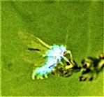 Buchenblattlaus(Phyllapis fagi(L. 1767))(geflügeltes Exemplar)