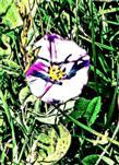 Blüte einer Acker-Winde(Convolvulus arvensis(L.))