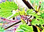 Gemeine Skorpionsfliege(Panorpa communis(L. 1758))(weiblich)