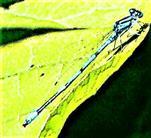 Hufeisen-Azurjungfer(Coenagrion puella(L. 1758))