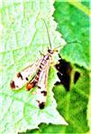 Deutsche Skorpionsfliege(Panorpa germanica(L. 1758))(männlich)