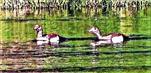 Nilgänse(Alopochen aegyptiaca(L. 1766)) auf dem Lohmühlenweiher Juni 2020