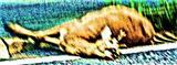 Verkehrsopfer Rehbock(Capreolus capreolus(L. 1758))(