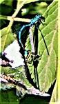 Paarungsrad Hufeisen-Azurjungfer(Coenagrion puella(L.1758))