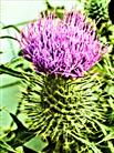 Blüte der Gewöhnlichen Kratzdistel(Cirsium vulgare(Savi.)Ten.)