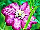 Blüte einer Clematis-Hybride(Clematis