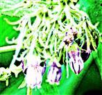 Blüten des Echten Beinwells(Symphytum officinale(L.))
