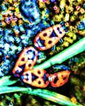 Gemeine Feuerwanze(Pyrrhocoris apterus(L. 1758)) paarweise in Kopulation