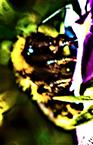 Feld-Kuckuckshummel(Bombus campestris(Panzer 1801)) beim Blütenbesuch