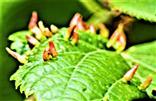 Blattgallen von Gallmilben(Aceria macrorhyncha(Eriophyidae))