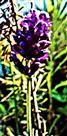 Blüte des Schopflavendels(Lavandula stoechas(L.))