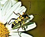Gefleckter Schmalbock(Rutpela maculata(Poda 1761)) nach dem Blütenbesuch