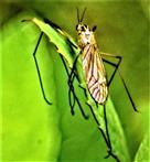 Gefleckte Wiesenschnake(Nephrotoma appendiculata(Pierre 1919)) ruhend