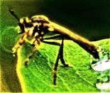Gemeine Habichtsfliege(Dioctria hyalipennis(Fabricius 1794))