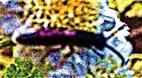 Töpfergrabwespe(Trypoxylon figulus(L. 1758)) beim Blütenbesuch