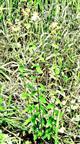 Berg-Johanniskraut(Hypericum montanum(L.))