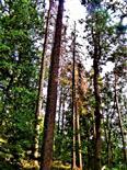 Abgestorbene Gemeine Fichte(Picea abies(L.)H.Karst.) sowie Europäische Lärche(Larix decidua(Mill. ))