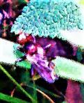 Gemeine Breitstirnblasenkopffliege(Sicus ferrugineus(L. 1761))