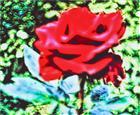 Kulturrose(Rosa(L.)) im Garten