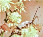 Gemeiner Bockkäfer, Rothalsbock(Stictoleptura rubra(L. 1758))(männlich)