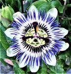 Blüte einer Blauen Passionsblume(Passiflora caerulea(L.))