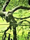 Altersschwacher Obstbaum(bereits umgefallen)