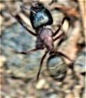 Arbeiterin der Roten Waldameise(Formica rufa(L. 1761)) im Sommer 2020