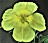 Blüte der Gemeinen Nachtkerze(Oenothera biennis(L.))