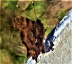 C-Falter(Polygonia c-album(L. 1758)) ruhend August 2020