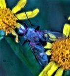 Fliege(Coenosia attentuata(Stein 1903))