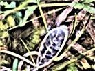 Geöffnete Kapselfrucht eines Weidenröschens(Epilobium(L.))