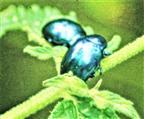 Himmelblauer Blattkäfer(Chrysolina coerulans(Scriba 1791))