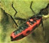 Gemeine Feuerwanze(Pyrrhocoris apterus(L. 1758)) an den Spaltfrüchten einer Gewöhnlichen Stockrose(Alcea rosea(L.)) saugend