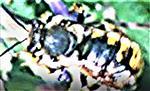 Große Wollbiene(Anthidium manicatum(L. 1758))