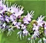 Blüten der Pfefferminze(Mentha x piperita(L.))