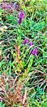 Gewöhnlicher Blutweiderich(Lythrum salicaria(L.))