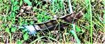 Feder eines Mäusebussards(Buteo buteo(L. 1758)) 01