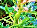 Galle an einer Acker-Kratzdistel(Cirsium arvense(L.)Scop.)