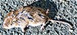 Rötelmaus(Myodes glareolus(Schreber 1780))