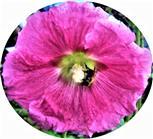 Ackerhummel(Bombus pascuorum(Scopoli 1763)) in einer Stockrosenblüte(Alcea rosea(L.))