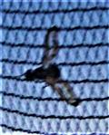 Zitterfliege(Toxoneura muliebris(Harris 1780)) am Fenster