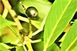 Frucht einer Lorbeerkirsche(Prunus laurocerasus(L.))