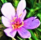 Blüte einer Herbstzeitlosen(Colchicum autumnale(L.))