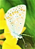 Kronwicken-Bläuling(Plebejus argyrognomon(Bergsträsser 1779)) an Blüten des Gewöhnlichen Hornklees(Lotus corniculatus(L.))