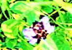 Blüte der Kleinen Braunelle(Prunella vulgaris(L.))