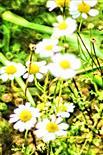 Echte Kamille(Matricaria chamomilla(L.))